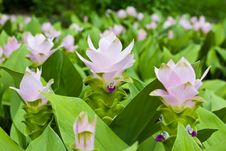 Free Pink Field Of Siam Tulip Royalty Free Stock Image - 25734806