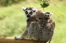 Free Ring-Tailed Lemur Royalty Free Stock Photo - 25734895