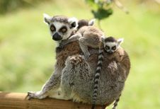 Free Ring-Tailed Lemur Stock Image - 25734951