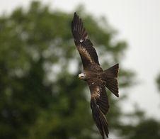 Black Kite Stock Photos