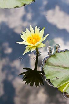 Free Lotus Yellow Stock Photo - 25735040