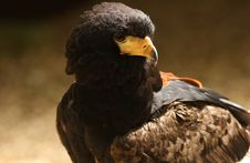 Free Harris Hawk Royalty Free Stock Photo - 25735105