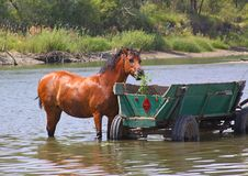Free A Horse Is In The River Royalty Free Stock Photography - 25737347