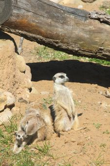 Free Meerkat. Royalty Free Stock Photos - 25738038