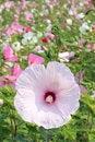 Free Hibiscus Stock Image - 25743431