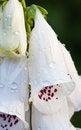 Free White Common Foxglove Stock Photos - 25748833