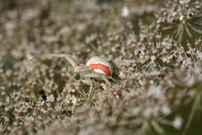 Free Crab Spider Stock Photography - 25741072