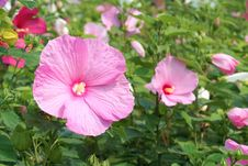 Free Hibiscus Stock Photography - 25743402