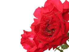 Free Red Roses Stock Photography - 25749902