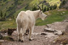 Free Mountain Goat At Glacier National Park Stock Images - 25755154