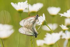 Two Black-veined White Royalty Free Stock Images