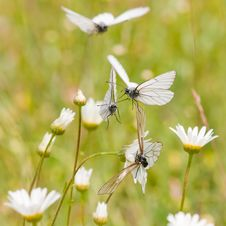 Free Black-veined White In A Flower Meadow Stock Photos - 25755643