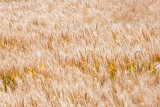 Free Corn Field In The Wind Stock Photos - 25755913