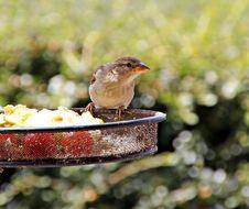 Free Common British Sparrow Stock Photo - 25756890