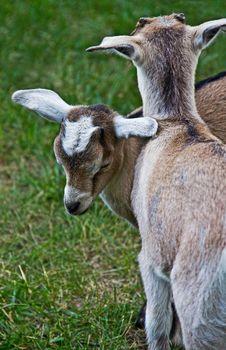 Free Sleeping Goat Kid Stock Images - 25757894