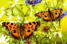 Free Two Butterflies On Camomiles Stock Image - 25759441