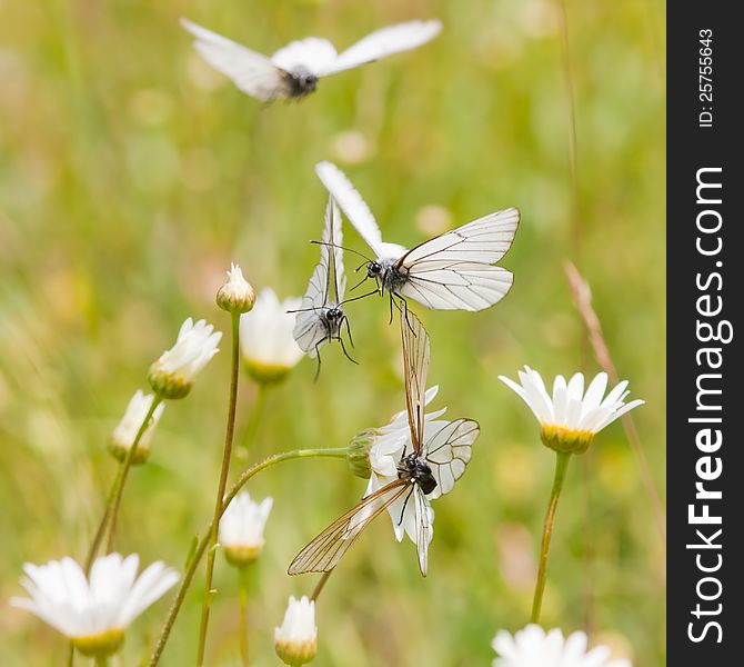 Black-veined white in a flower meadow