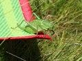 Free Grasshopper Stock Photo - 25764420