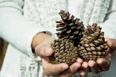 Free Hand Holding Cedar Cone Stock Images - 25764514