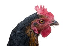 Free Chicken Head Royalty Free Stock Image - 25764606