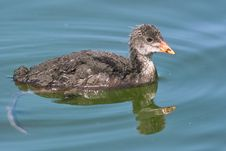 Free Immature Of Eurasian Coot Royalty Free Stock Image - 25767036