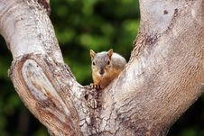 Free Gray Squirrel Tree Staring Royalty Free Stock Photos - 25767638