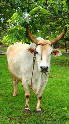 Free The Bull At The Tree Royalty Free Stock Photography - 25767727