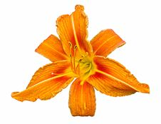 Free Orange Daylily Royalty Free Stock Image - 25769006
