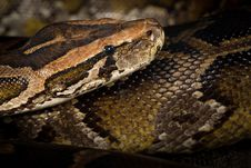 Free Python Snake Royalty Free Stock Photography - 25769107