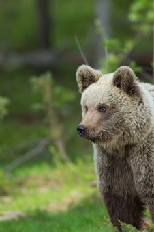 Free Brown Bear In Finnish Tiaga Forests Royalty Free Stock Images - 25769739