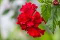 Free A Red Hibiscus Flower Stock Image - 25775871