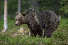 Free Brown Bear In Finnish Tiaga Forests Royalty Free Stock Photos - 25770488