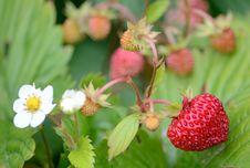 Free Wild Strawberry Fruit Stock Photos - 25772993