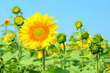 Free Sunflowers Stock Photo - 25773600
