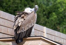 Free Vulture Royalty Free Stock Photography - 25775557