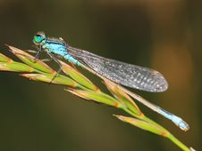 Free Damselfly With Morning Dew Royalty Free Stock Images - 25777129