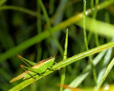 Free Grasshopper On Wet Grass Stock Photos - 25777153