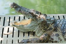 Free Crocodile Of In Thailand Royalty Free Stock Photography - 25777397