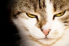 Free Close-up Of A Cat Royalty Free Stock Photography - 25779387