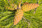 Free Trio Of Cones Of European Black Pine Royalty Free Stock Images - 25778829