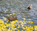 Free Wild Ducks Stock Photo - 25787910