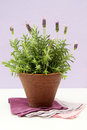 Free Lavender Bush In Pot Royalty Free Stock Photography - 25787937