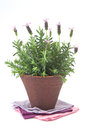 Free Lavender Bush Royalty Free Stock Photos - 25787958