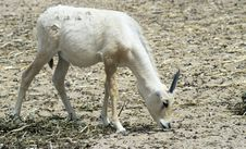 Free Baby Of Arabian Oryx Antelope Stock Photo - 25780210