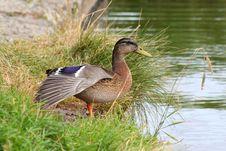 Free Mallard Female Duck Stock Photo - 25781050