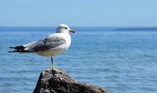 Free Seagull On Mackinac Island, MI Stock Photos - 25781133
