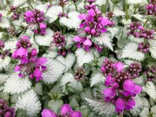 Free Dead Nettle Flowers Royalty Free Stock Photography - 25782447