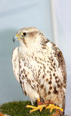 Free Falcon Stock Photos - 25784383