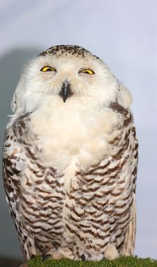 Free Snowy Owl &x28;Bubo Scandiacus&x29; Royalty Free Stock Photos - 25784388