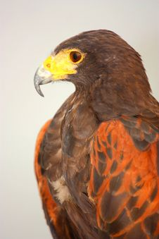 Free Harris  Hawk &x28;Parabuteo Unicinctus&x29; Stock Photos - 25784393